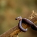 Brown House Snake - Photo (c) Kiko Janneman, some rights reserved (CC BY-NC)