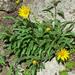 Helianthella castanea - Photo (c) Stan Shebs, algunos derechos reservados (CC BY-SA)