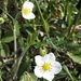 Fragaria viridis campestris - Photo (c) cambala, osa oikeuksista pidätetään (CC BY-NC)