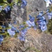 Chelan Penstemon - Photo (c) Jesus, some rights reserved (CC BY-NC)