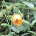 Nasa grandiflora - Photo (c) nikitacoppisetti, algunos derechos reservados (CC BY-NC)