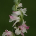 Spiranthes sinensis - Photo (c) 葉子, osa oikeuksista pidätetään (CC BY-NC-ND)