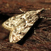 Eudonia heterosalis - Photo (c) Katja Schulz, algunos derechos reservados (CC BY)