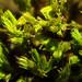 Lewinskya affinis - Photo (c) Armand Turpel, μερικά δικαιώματα διατηρούνται (CC BY)
