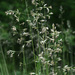 Rough Fescue - Photo (c) Samuel Brinker, some rights reserved (CC BY-NC)