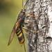 Tremex fuscicornis - Photo (c) Roman Providukhin, algunos derechos reservados (CC BY-NC)