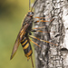 Tremex fuscicornis - Photo (c) Roman Providukhin, some rights reserved (CC BY-NC)