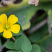 Slender Yellow Woodsorrel - Photo (c) Rich Kostecke, some rights reserved (CC BY-NC)