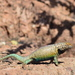 Hunsaker's Spiny Lizard - Photo (c) marioleal85, some rights reserved (CC BY-NC), uploaded by marioleal85