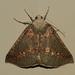 Cassythaphaga macarta - Photo (c) Alan Melville, algunos derechos reservados (CC BY-NC-ND)