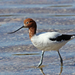 Red-necked Avocet - Photo (c) Ray Turnbull, some rights reserved (CC BY-NC)