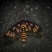 Amata nigriceps - Photo (c) Nicholas John Fisher,  זכויות יוצרים חלקיות (CC BY-NC)