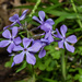 Phlox divaricata - Photo (c) Noel Pennington, μερικά δικαιώματα διατηρούνται (CC BY-NC)