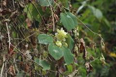 Image of Passiflora hahnii