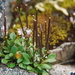Alpine Bittercress - Photo (c) Tab Tannery, some rights reserved (CC BY-NC-SA)