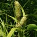 Carex typhina - Photo (c) summerazure, algunos derechos reservados (CC BY-NC-SA)