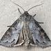 Polia purpurissata - Photo (c) btk,  זכויות יוצרים חלקיות (CC BY-ND)
