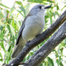Grey Shrikethrush - Photo (c) Ian Sutton, some rights reserved (CC BY-NC-SA)