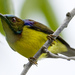 Plain-throated Sunbirds, Violet-backed Sunbirds, and Allies - Photo (c) Mike (NO captive birds) in Thailand, some rights reserved (CC BY-NC-ND)