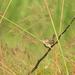 Cistothorus platensis jalapensis - Photo (c) El Chivizcoyo,  זכויות יוצרים חלקיות (CC BY-NC)