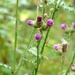Welted Thistle - Photo (c) Serge M. Appolonov, some rights reserved (CC BY-NC)