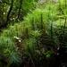 Dawsonia superba - Photo (c) Steve Reekie, μερικά δικαιώματα διατηρούνται (CC BY-NC)