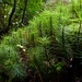 Dawsonia superba - Photo (c) Steve Reekie, algunos derechos reservados (CC BY-NC)