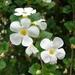 Chaenostoma cordatum - Photo (c) Forest and Kim Starr,  זכויות יוצרים חלקיות (CC BY)
