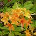 Rhododendron calendulaceum - Photo (c) Lindley Ashline, algunos derechos reservados (CC BY-NC)