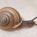 Micrarionta gabbii - Photo (c) Cedric Lee, algunos derechos reservados (CC BY-NC)