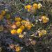Acmispon argophyllus argenteus - Photo (c) Gena Bentall, alguns direitos reservados (CC BY-NC)