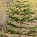Abies procera - Photo (c) John D Reynolds, algunos derechos reservados (CC BY-NC)