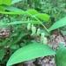 Polygonatum biflorum - Photo (c) dstover, alguns direitos reservados (CC BY-NC)
