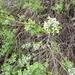 Glossopetalon spinescens planitierum - Photo (c) Barry Keith, algunos derechos reservados (CC BY-NC)