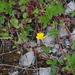 Potentilla stolonifera - Photo (c) Оlga Сhernyagina, some rights reserved (CC BY-NC)