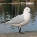 Black-billed Gull - Photo (c) Andrew Barclay, some rights reserved (CC BY-NC-ND)