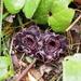 Asarum tamaense - Photo (c) Keita Watanabe,  זכויות יוצרים חלקיות (CC BY-NC)