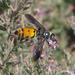 Dielis tolteca - Photo (c) stonebird,  זכויות יוצרים חלקיות (CC BY-NC-SA)