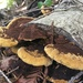 Mustard Yellow Polypore - Photo (c) sulasula, some rights reserved (CC BY-NC)