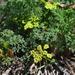 Lomatium papilioniferum - Photo (c) Mart Hughes, alguns direitos reservados (CC BY-NC)