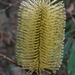 Banksia integrifolia monticola - Photo (c) wingspanner, some rights reserved (CC BY-NC)