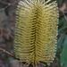 Banksia integrifolia monticola - Photo (c) wingspanner, algunos derechos reservados (CC BY-NC)