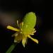 Ranunculus sceleratus - Photo (c) 葉子, algunos derechos reservados (CC BY-NC-ND)