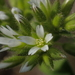 Sticky Mouse-ear Chickweed - Photo (c) 葉子, some rights reserved (CC BY-NC-ND)