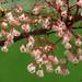 Sterculia monosperma - Photo (c) 葉子, osa oikeuksista pidätetään (CC BY-NC-ND)