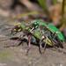 Cicindela ohlone - Photo (c) Kristie Nelson, algunos derechos reservados (CC BY-NC)