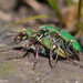 Ohlone Tiger Beetle - Photo (c) Kristie Nelson, some rights reserved (CC BY-NC)