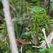 Huperzia subintegra - Photo (c) harum.koh,  זכויות יוצרים חלקיות (CC BY-SA)