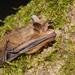 Morcego-Lanudo - Photo (c) Jan Svetlik, alguns direitos reservados (CC BY-NC-ND)