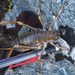 Mt Cook Giant Weta - Photo (c) Grant Maslowski, some rights reserved (CC BY-NC)